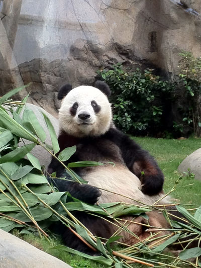 Hong Kong Giant Panda
